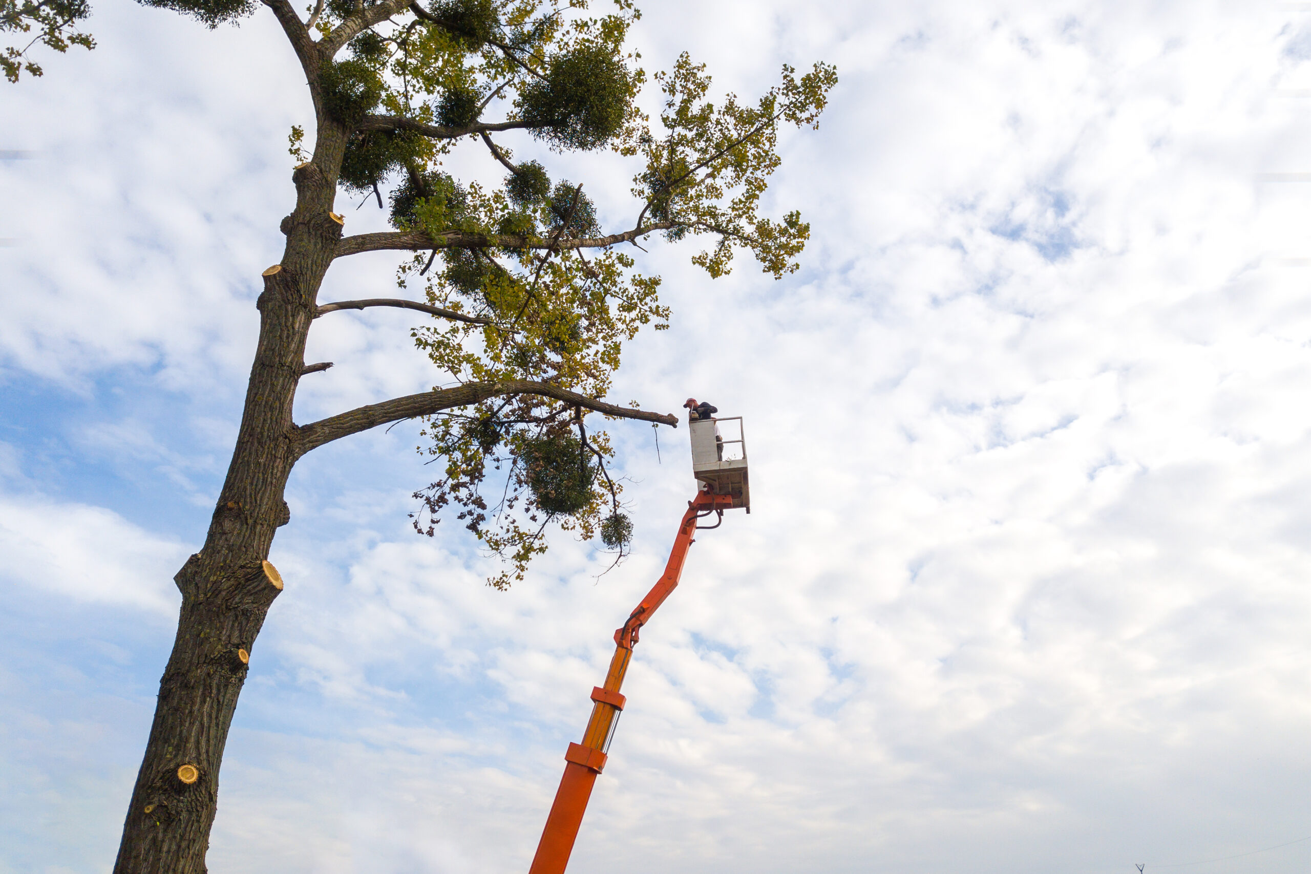 Two service workers cutting down big tree branches with chainsaw